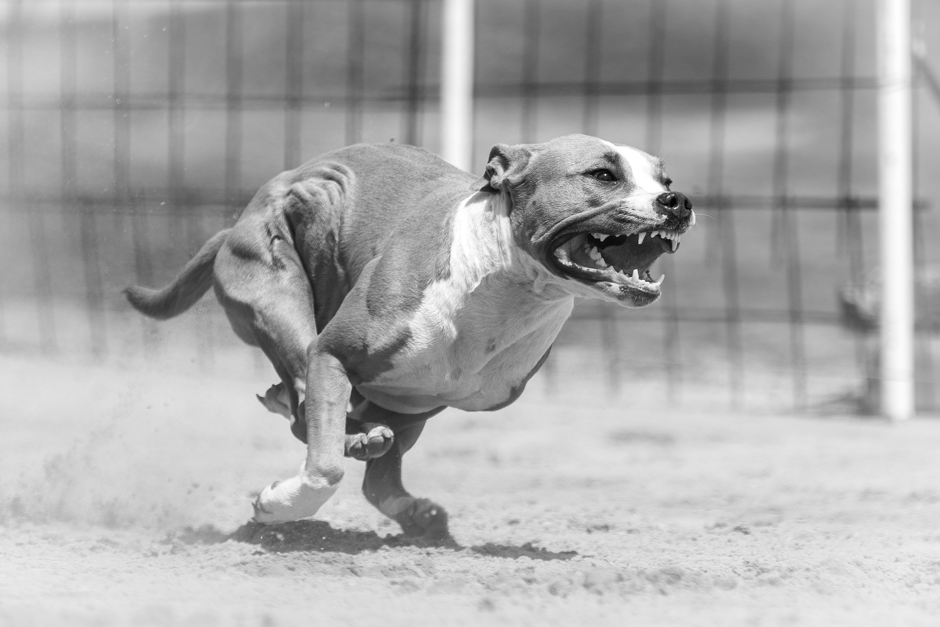 angry dog, aggressive canine